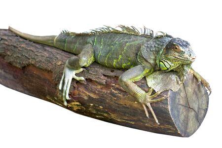 iguana isolate on white background