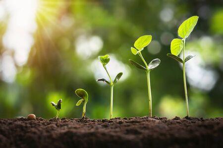 crecimiento de la soja en la granja con fondo de hoja verde. concepto de paso de crecimiento de plántulas de plantas de agricultura