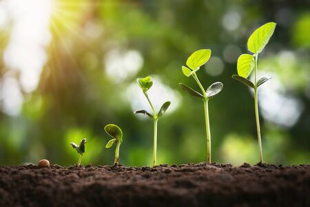 sojaboongroei in boerderij met groene bladachtergrond. landbouw plant zaailing groeiende stap concept