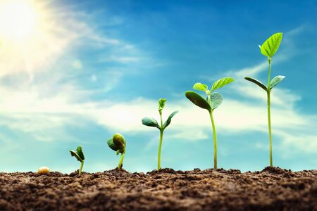soybean growth in farm with blue sky background. agriculture plant seedling growing step concept