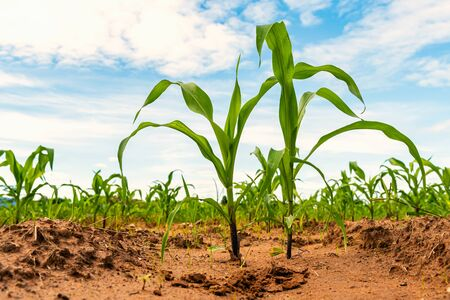 young green corn in farm agriculture concept