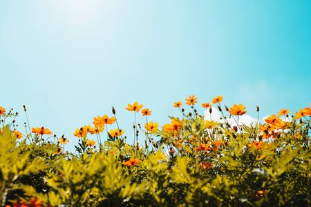 yellow flower cosmos bloom with sunshine and blue sky background Stok Fotoğraf