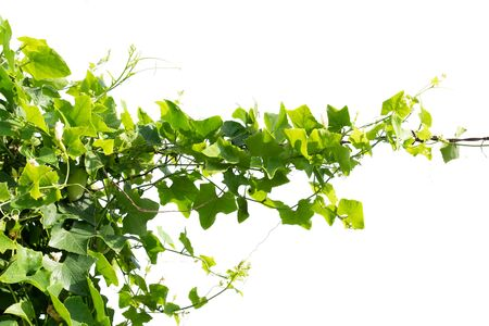 ivy plant isolate on white background Imagens - 132068997