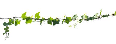 ivy plant isolate on white background Imagens - 132068946