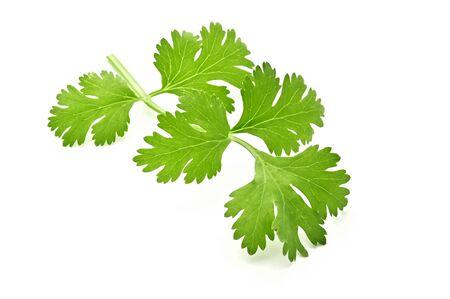 fresh green leaf coriander isolate on white background
