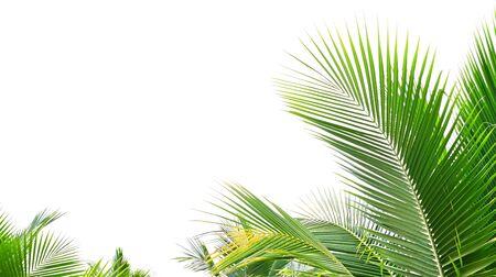 palm leaf isolate on white background