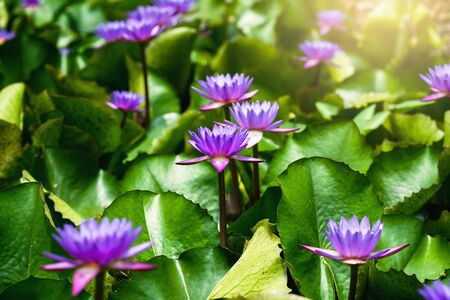violet lotus with green leaf in pond and sunshine Stockfoto
