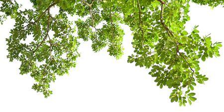 green leaf on tree isolate white background Stockfoto