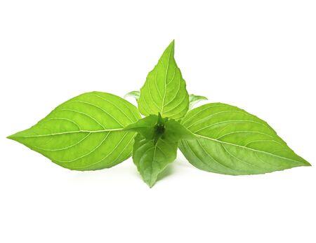 closeup basil leaf isolate on white background