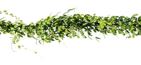 ivy plant on electric wire isolate on white background Stockfoto