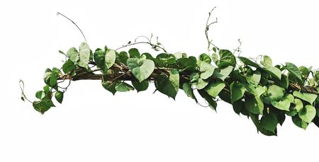 green leaf ivy plant isolate on white background