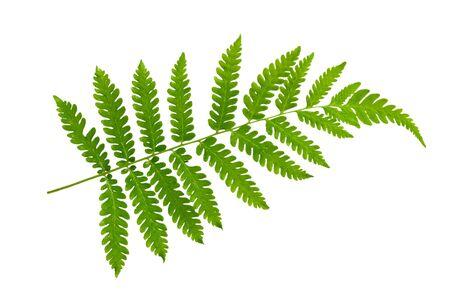 fern leaf isolate on white background
