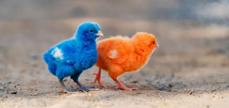 close up new born chicken red, blue on nature background Stockfoto