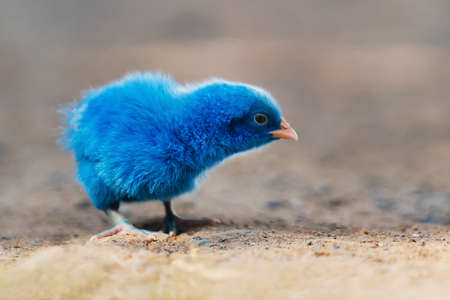 close up new born chicken blue on nature background