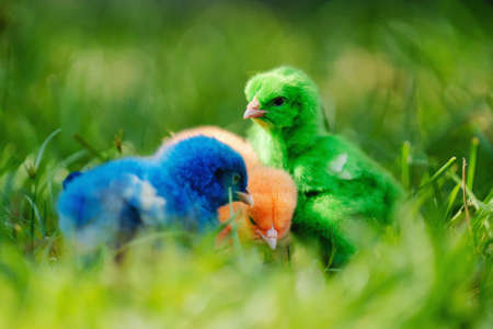 close up new born chicken red, green, blue on green grass in nature Stockfoto