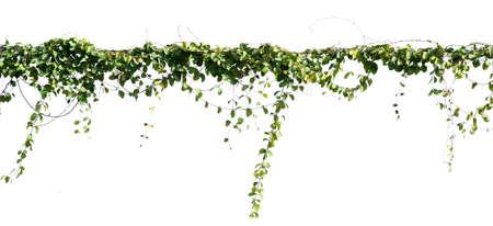 ivy plant isolate on white background Stockfoto