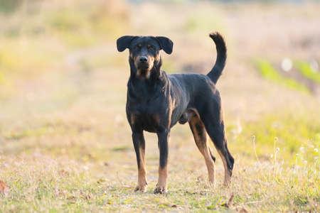black dog standing look at camera in sunset Standard-Bild