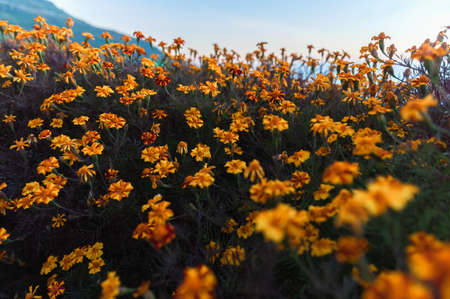 marigold flower in morning light