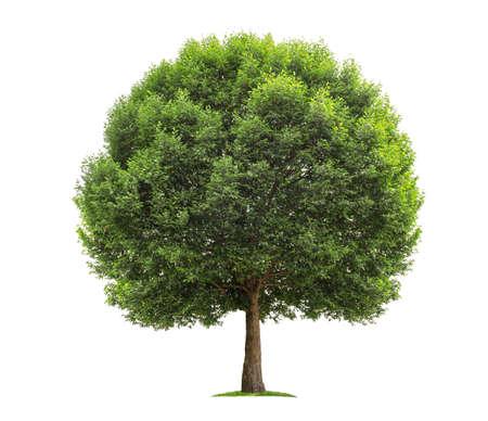 big tree isolate on white background