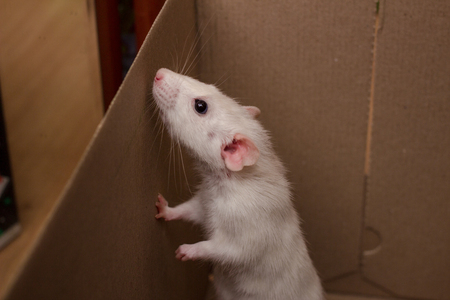 White dumbo rat first day at home. Domestic rat pet trying to escape from a box. Standard-Bild