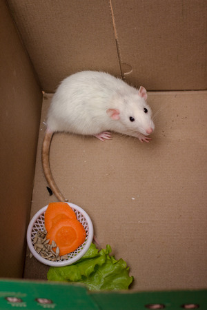 White dumbo rat first day at home. Domestic rat pet. Standard-Bild