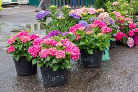 Pink, blue and purple blossoming Hydrangea macrophylla or mophead hortensia in a flower pots outdoors in a plant nursery outdoors. Green business concept