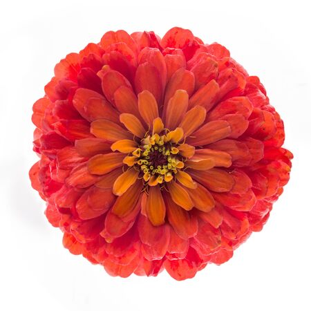 Red flower of zinnia elegans isolated on white background, top view