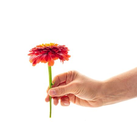A female hand holding a blossoming zinnia flower isolated on white background. A flower as a gift and symbol of love concept Archivio Fotografico
