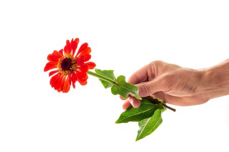 A male hand holding and giving a red blossoming zinnia flower isolated on white background. A flower as a gift and symbol of love concept Archivio Fotografico