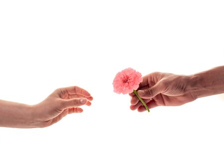 A male hand holding and giving a blossoming zinnia flower to a woman isolated on white background. A flower as a gift and symbol of love concept Archivio Fotografico