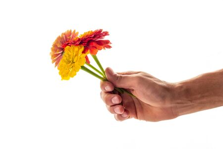A male hand holding and giving three blossoming zinnia flowers isolated on white background. A flower as a gift and symbol of love concept
