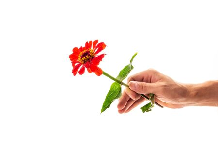 A hand holding a blossoming zinnia flower isolated on white background. A flower as a gift and symbol of love concept