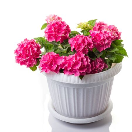 Pink blossoming Hydrangea macrophylla or mophead hortensia in a flower pot isolated on white Archivio Fotografico