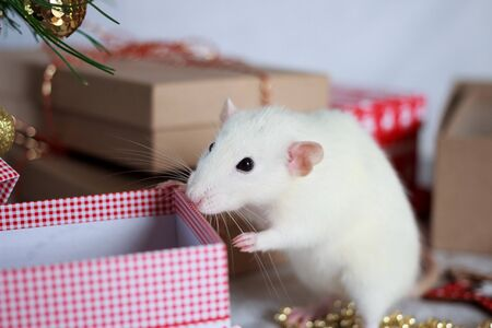 White rat symbol of year 2020. Chinese zodiac sign of new year with gift boxes and festive decorations