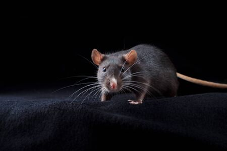 Black rat on black background. Chinese year of rat symbol. Domestic dumbo rat pet portrait in studio looking to camera