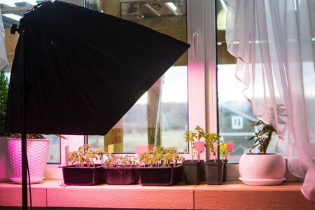 Growing tomato seedlings in plastic pots with soil on balcony window sill with led light lamps for plants. Urban home balcony gardening, growing vegetables with  artificial lighting concept Archivio Fotografico