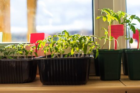 Growing tomato seedlings plants in plastic pots with soil on balcony window sill with tags labels. Urban home balcony gardening, growing vegetables concept Archivio Fotografico