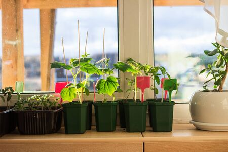 Cucumber seedlings in flower pots on a balcony window sill. Planting, urban home balcony gardening concept Archivio Fotografico