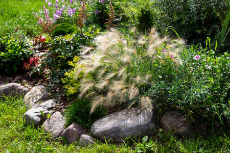 Perrenial garden with evergreen plants, decorative cereal grasses. Foxtail barley, festuca and astilbe in rockery Archivio Fotografico