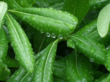 dewdrops: Dewdrops on the Green Leaves