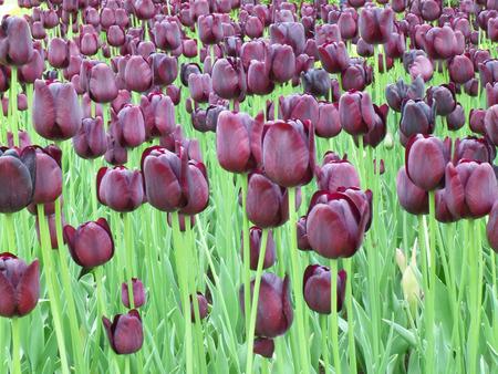 dark purple tulips at keukenhof garden the netherlands stock photo