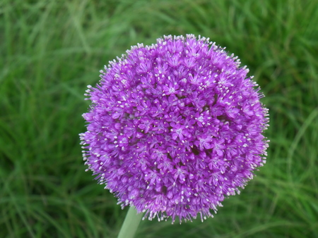 blooming purple: Close up of a Blooming Purple Allium