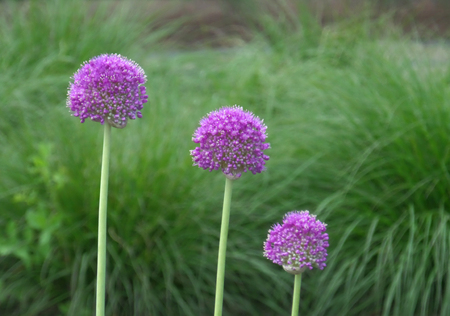 The Three Sisters !! Young Purple Alliums in the Green Grass Field