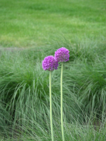 a pair of: Always Being Together !! A Pair of Young Purple Alliums in the Green Grass Field