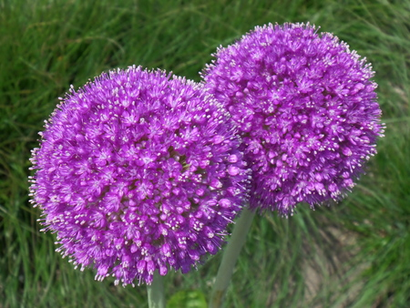 a pair of: Always Being Together !! Close up of a pair of Blooming Purple Alliums