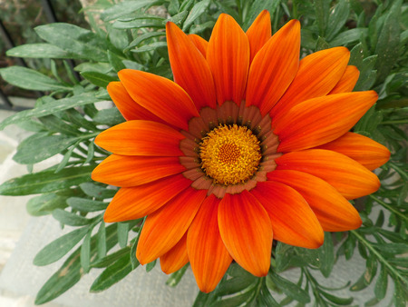 Fully Blooming Vivid Orange Flower on the Green Leaves Stock Photo