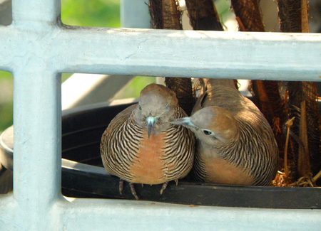 sweetly: Wild Zebra Dove preening its mate sweetly on the planter at the balcony