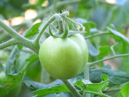 tomate de arbol: Close-up of One Light Green Young Tomato on Its Tree Foto de archivo