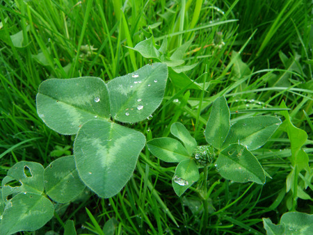 Wild Clover leaves and flower bud with the morning dewdrops