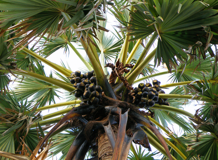 bunches: Sugar Palm Tree with Bunches of Sugar Palm Fruits, Thailand Stock Photo